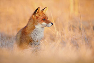 Sunset Series - Red Fox At Sunset Poster by Roeselien Raimond