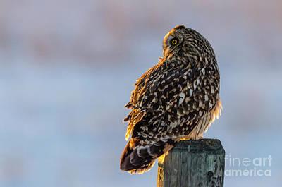 Sunset Short-eared Owl Poster