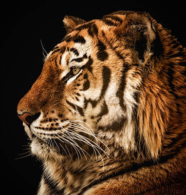 Poster featuring the photograph Sunset Tiger by Chris Boulton