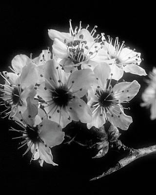 Sunset Wild Plum Blooms 5529.01 Poster