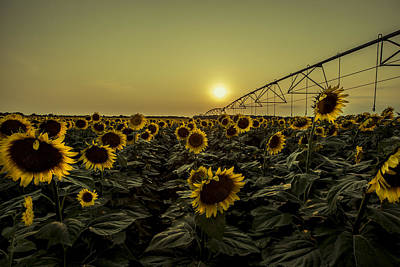 Sunset With Sunflowers Poster