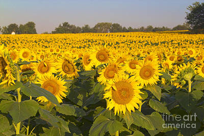 Sunshine Flower Field Poster