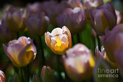 Poster featuring the photograph Sunshine Tulips by Angela DeFrias