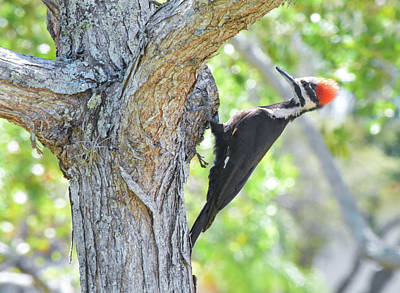 Surprised By Pileated Poster