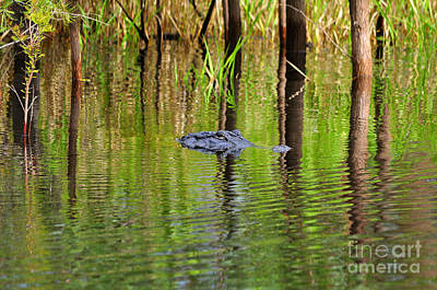 Poster featuring the photograph Swamp Stalker by Al Powell Photography USA