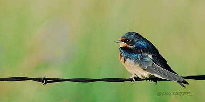 Swallow On Barbed Wire Poster by Don Durfee