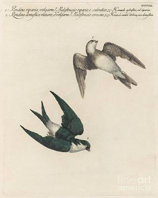 Swallow Species Poster