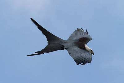 Swallow-tailed Kite #1 Poster by Paul Rebmann