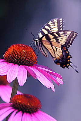 Poster featuring the photograph Swallowtail And Coneflower by Byron Varvarigos