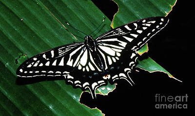 Swallowtail Butterfly- Close Poster