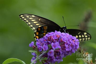 Swallowtail Butterfly Enjoying A Summer Breeze Poster