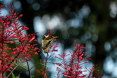 Swallowtail Butterfly Hovers Near Red Firespike Poster