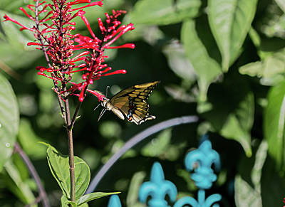 Swallowtail Butterfly Indulges In Red Firespike Poster
