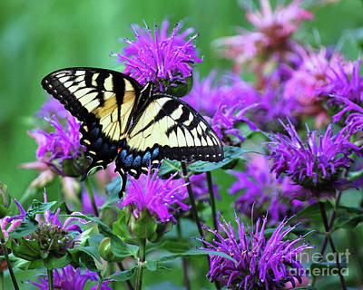 Swallowtail Butterfly Poster by Lila Fisher-Wenzel