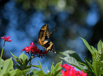 Swallowtail Butterfly Sits On Red Flower Against Blue Sky Poster