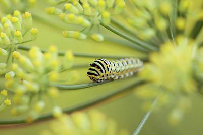 Swallowtail Caterpillar Or Papilio Machaon Poster