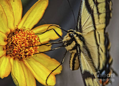 Swallowtail Close Up Poster by Robert Bales