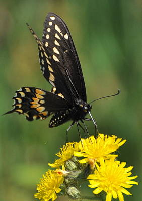 Swallowtail On Putney Mt. Poster by Gerald Hiam
