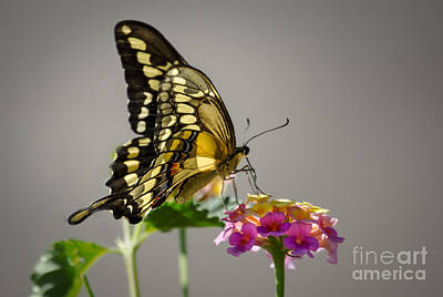 Swallowtail Poster by Robert Bales
