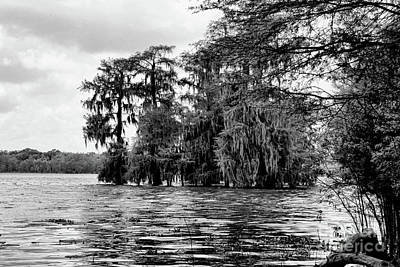 Swamp Black Cypress Trees  Poster