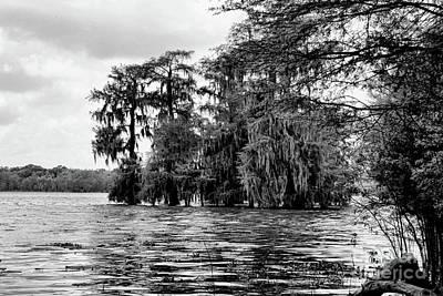 Swamp Black Cypress Trees  Poster