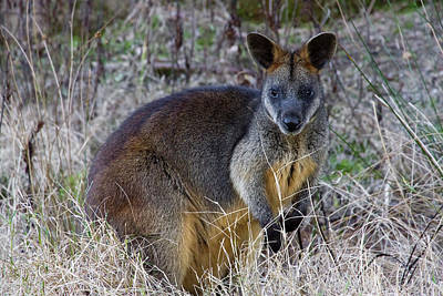 Poster featuring the photograph Swamp Wallaby  by Miroslava Jurcik