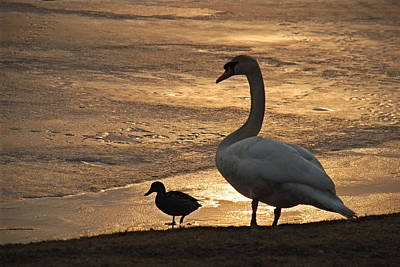 Poster featuring the photograph Swan And Baby At Sunset by Richard Bryce and Family