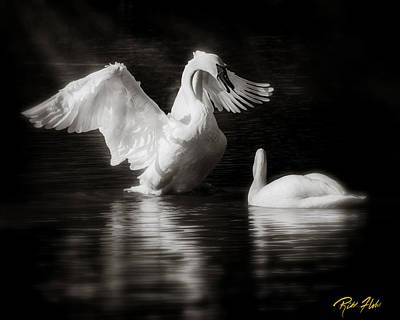 Swan Display Poster