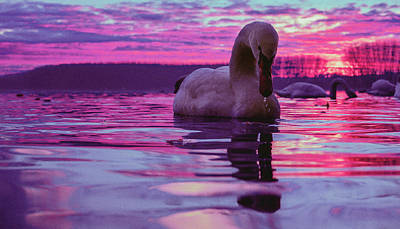 Swan During Purple Sunset Poster