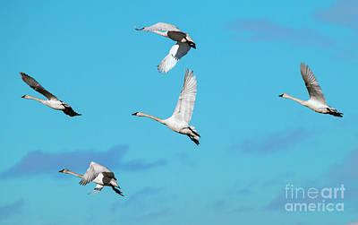 Swan Flight Poster by Mike Dawson