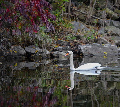 Swan In Autumn Reflections Poster