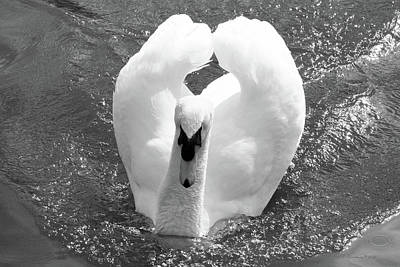 Swan In Motion Poster by Inspirational Photo Creations Audrey Woods