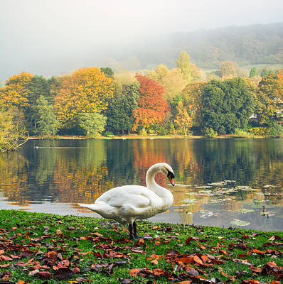 Swan In The Autumn  Poster