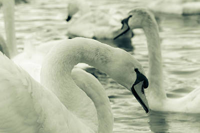 Swan In Water Poster