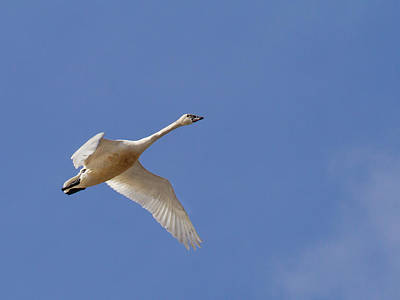 Tundra Swan  Poster by Jean Noren