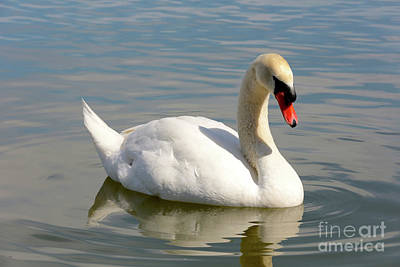 Swan Lake Morton Poster