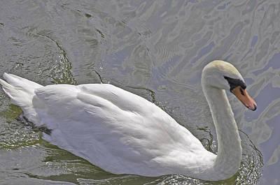 Swan Lake Poster by Vijay Sharon Govender