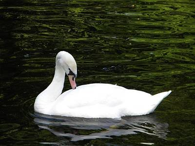Poster featuring the photograph Swan May by Manuela Constantin