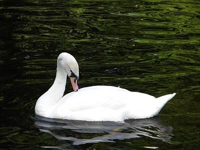 Swan May Poster