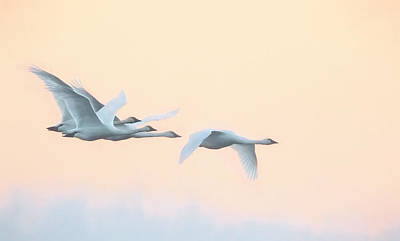 Poster featuring the photograph Swan Migration  by Kelly Marquardt