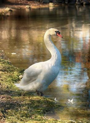 Swan Portrait Poster