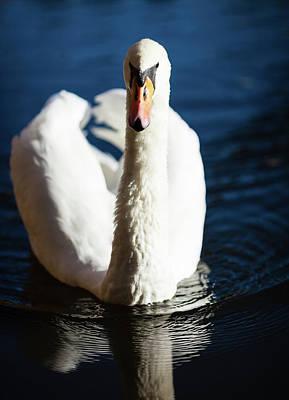 Swan Posing Poster by Teemu Tretjakov