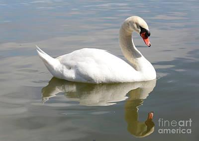 Swan Reflecting Poster