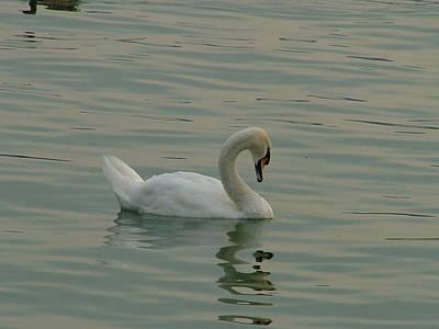 Swan Poster by Rita Fetisov