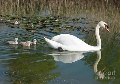 Swan Scenic Poster