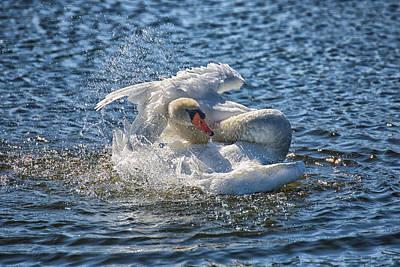 Swan Splish Splash Poster by Christine Martin-Lizzul