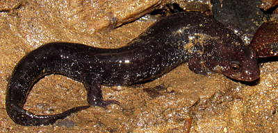 Swannanoa Salamander Poster