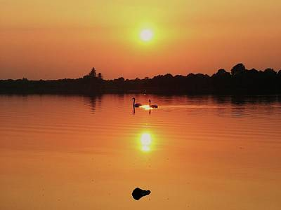 Swans At Sunset  Poster by Martina Fagan