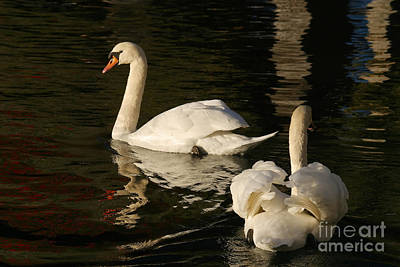 Swans In Lucerne Poster