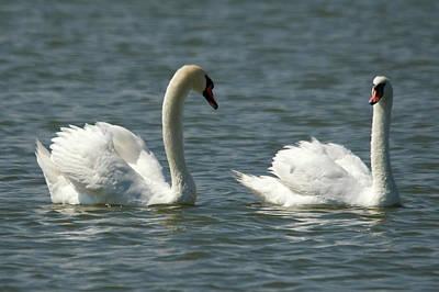 Swans On Lake  Poster